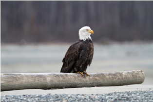 small mg 0418 Bald eagles in Alaska (4th and final part)