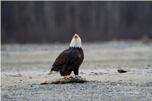 small mg 0485 Bald eagles in Alaska (4th and final part)