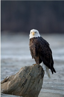 small mg 1269 Bald eagles in Alaska (part 2)