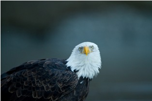 small mg 1619 Bald eagles in Alaska (4th and final part)