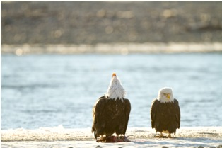 small mg 1837 Bald eagles in Alaska (4th and final part)
