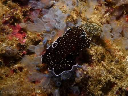 smallp1000546 Underwater photos from Indonesia   nudibranchs