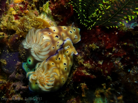 smallp1000748 Underwater photos from Indonesia   nudibranchs
