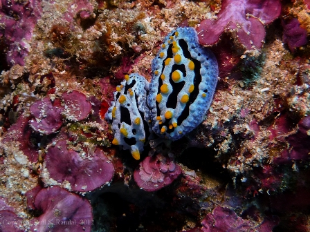 smallp1010718 Underwater photos from Indonesia   nudibranchs