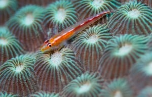 Main Resources 700x450 RedGoby 300x192 Website Images